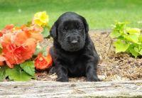 Labrador Retriever Puppies for sale in New York, NY, USA. price: NA