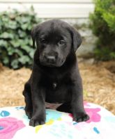 Labrador Retriever Puppies for sale in Minneapolis, MN, USA. price: NA