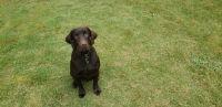 Labrador Retriever Puppies for sale in Acworth, GA 30102, USA. price: NA