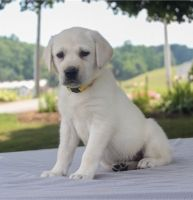 Labrador Retriever Puppies for sale in 33010 Dever Conner Rd NE, Albany, OR 97321, USA. price: NA