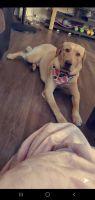 Labrador Retriever Puppies for sale in York, PA, USA. price: NA