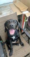 Labrador Retriever Puppies for sale in Iowa City, IA, USA. price: NA