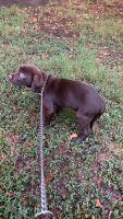 Labrador Retriever Puppies for sale in Newport News, VA 23601, USA. price: NA