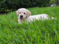 Labrador Retriever Puppies for sale in Duluth, GA, USA. price: NA
