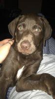 Labrador Retriever Puppies for sale in Denton, TX, USA. price: NA