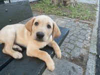 Labrador Retriever Puppies for sale in Queens, NY, USA. price: NA