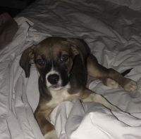 Labrador Retriever Puppies for sale in DeKalb, IL, USA. price: NA