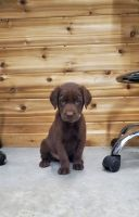 Labrador Retriever Puppies for sale in Rock Valley, IA 51247, USA. price: NA