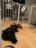 Labrador Retriever Puppies for sale in Santa Maria Ave, Castro Valley, CA 94546, USA. price: NA