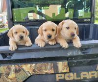Labrador Retriever Puppies for sale in Elizabeth, IN 47117, USA. price: NA