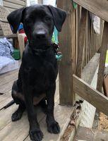 Labrador Retriever Puppies for sale in Scranton, PA, USA. price: NA