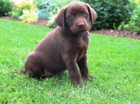 Labrador Retriever Puppies for sale in Reno County, KS, USA. price: NA