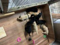 Labrador Retriever Puppies for sale in Salisbury, NC, USA. price: NA