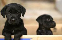 Labrador Retriever Puppies for sale in Rockdale, TX 76567, USA. price: NA