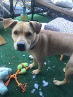 Labrador Retriever Puppies for sale in Alexandria, VA, USA. price: NA