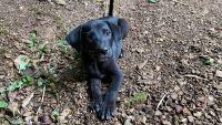 Labrador Retriever Puppies for sale in Celina, TN 38551, USA. price: NA