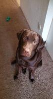 Labrador Retriever Puppies for sale in Gresham, OR, USA. price: NA