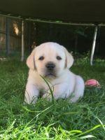 Labrador Retriever Puppies for sale in Miami Beach, FL, USA. price: NA