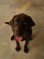 Labrador Retriever Puppies for sale in Visalia, CA, USA. price: NA