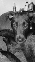 Labrador Retriever Puppies for sale in Toledo, OH, USA. price: NA