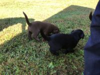 Labrador Retriever Puppies for sale in Garrettsville, OH 44231, USA. price: NA