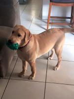 Labrador Retriever Puppies for sale in Miami, FL 33186, USA. price: NA