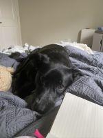 Labrador Retriever Puppies for sale in Katy, TX 77494, USA. price: NA