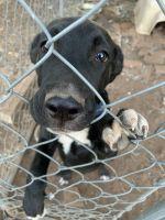 Labrador Retriever Puppies for sale in Lubbock, TX, USA. price: NA