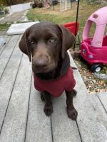 Labrador Retriever Puppies for sale in Saugus, MA, USA. price: NA