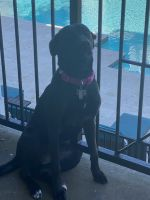 Labrador Retriever Puppies for sale in Charlotte, NC, USA. price: NA