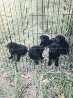 Labrador Retriever Puppies for sale in Branford, FL 32008, USA. price: NA