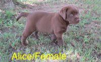 Labrador Retriever Puppies for sale in Owensboro, KY, USA. price: NA