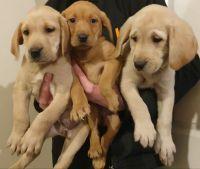 Labrador Retriever Puppies for sale in Dallas, TX, USA. price: NA