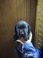 Labrador Retriever Puppies for sale in Naples, NY 14512, USA. price: NA