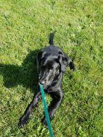 Labrador Retriever Puppies for sale in Harrison Charter Township, MI, USA. price: NA