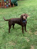 Labrador Retriever Puppies for sale in Georgetown, KY 40324, USA. price: NA