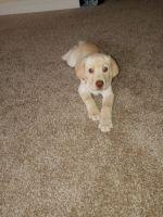 Labrador Retriever Puppies for sale in Grovetown, GA 30813, USA. price: NA