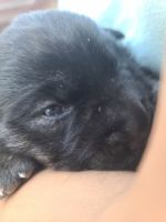 Labrador Retriever Puppies for sale in Ridgefield, NJ 07657, USA. price: NA