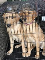 Labrador Retriever Puppies for sale in St Paul Park, MN, USA. price: NA