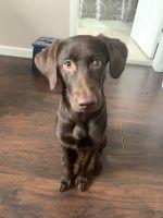 Labrador Retriever Puppies for sale in Kearny, NJ, USA. price: NA
