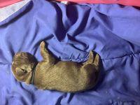 Labrador Retriever Puppies for sale in Katy, TX, USA. price: NA
