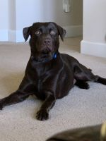 Labrador Retriever Puppies for sale in Valrico, FL, USA. price: NA