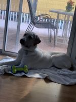 Labrador Retriever Puppies for sale in San Jose, CA, USA. price: NA