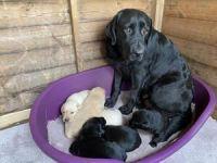 Labrador Retriever Puppies for sale in Atlanta, GA 30342, USA. price: NA
