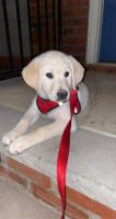 Labrador Retriever Puppies for sale in Old Bridge Township, NJ, USA. price: NA