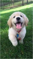 Labrador Retriever Puppies for sale in Louisville, KY, USA. price: NA