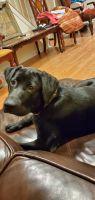 Labrador Retriever Puppies for sale in Staten Island, NY, USA. price: NA