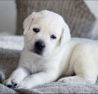 Labrador Retriever Puppies for sale in Corpus Christi, TX, USA. price: NA