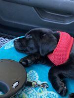 Labrador Retriever Puppies for sale in San Antonio, TX, USA. price: NA