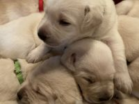 Labrador Retriever Puppies for sale in Cleveland, GA 30528, USA. price: NA